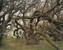 Armadillo_Carcasses_On_Tree-copy