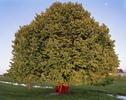 Linden_Tree_Gauchito_Gil_Shrine-copy
