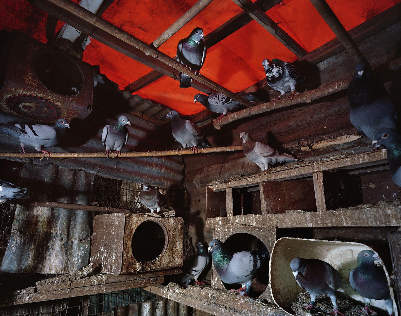 Pigeons333-copy-2