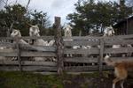 sheep_flat